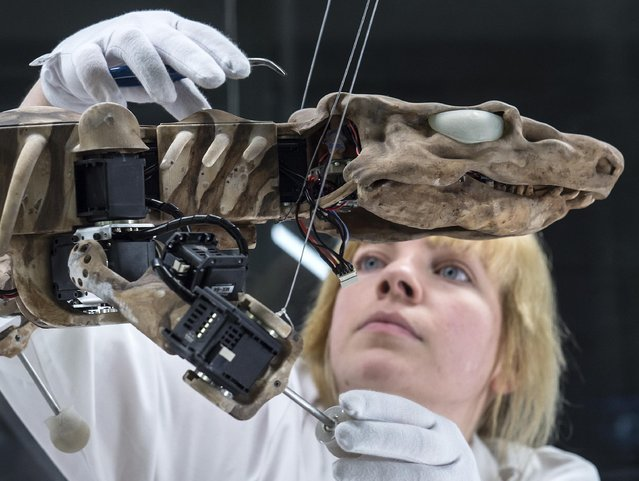 """Preparator Stefanie Griebsch fixes the bio-inspired robot """"Orobot"""" during the press preview exhibition """"Orobates – After 300 million years reanimated"""" in the Phyletic Museum in Jena, central Germany, Friday, April 15, 2016. Scientists studied the movement processes of the 297 million years ago living prehistoric lizard Orobates pabsti and display the results in this special presentation. The exhibition starts on April 15, 2016 and lasts until August 21, 2016. (Photo by Jens Meyer/AP Photo)"""