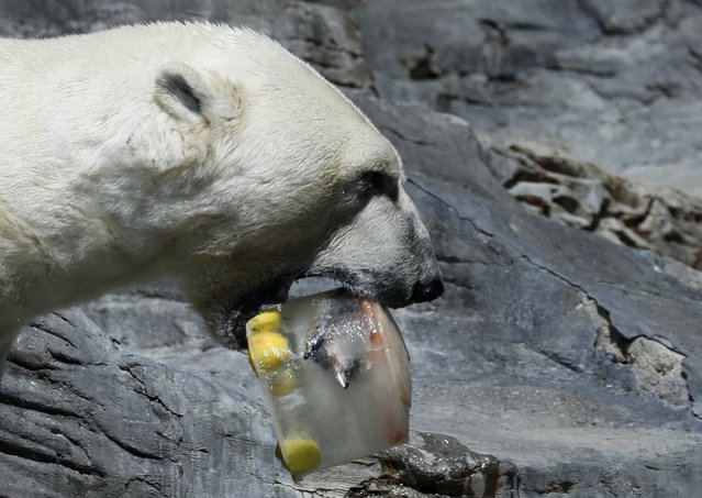 A polar bear enjoys an ice cream, prepared from fish, fruits and vegetables, on a hot and sunny day at the Prague Zoo, Czech Republic, Thursday, June 27, 2019. (Photo by Petr David Josek/AP Photo)