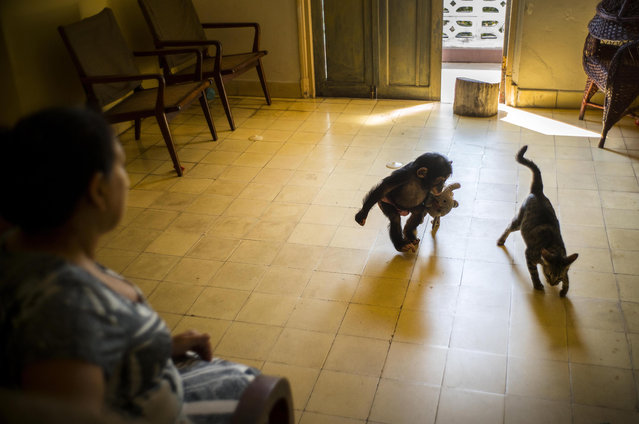 In this April 4, 2017 photo, zoologist Martha Llanes looks after baby chimpanzee Anuma II as she plays with the house cat Ty, at her apartment in Havana, Cuba. The floor is covered with toys, all sharp objects have been hidden away and the electric sockets covered to prevent a dangerous accidental shock. (Photo by Ramon Espinosa/AP Photo)