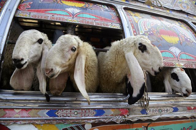 Pakistani vendors carry animals in a bus for the upcoming Muslim festival Eid al-Adha in Lahore, Pakistan, Monday, August 5, 2019. Eid al-Adha, or Feast of Sacrifice, is the most important Islamic holiday and marks the willingness of the Prophet Ibrahim (Abraham to Christians and Jews) to sacrifice his son. (Photo by K.M. Chaudhry/AP Photo)