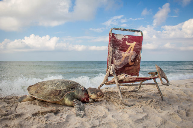 A turtle died after becoming attached to a washed-up beach chair in Alabama's Bon Secour National Wildlife Refuge by a length of rope. The Kemp's Ridley is not only one of the smallest sea turtles at just 65cm long it is also the most endangered. Despite protection of its limited nesting sites along the western coast of the Gulf of Mexico and a requirement for trawlers to use turtle-excluders, it is still under threat. (Wildlife Photojournalism category). (Photo by Matthew Ware)