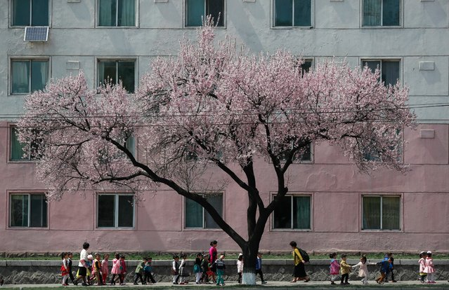 North Korean children near a cherry blossom tree in Pyongyang, North Korea, 13 April 2017. (Photo by How Hwee Young/EPA)