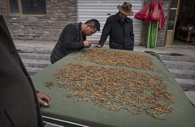 Tibetans inspect high quality cordycep fungus on May 18, 2016 at a market in Yushu on the Tibetan Plateau in the Yushu Tibetan Autonomous Prefecture of Qinghai province. (Photo by Kevin Frayer/Getty Images)