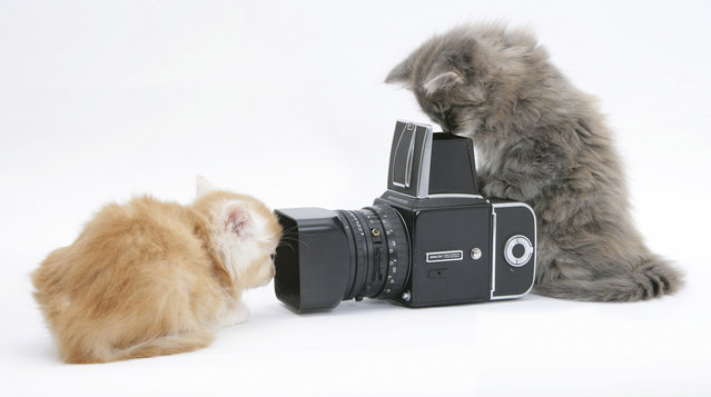 Taylor often gives his subjects props to play with, and when this ginger Maine coon kitten took an interest in the camera lens, Taylor's assistant quickly positioned the other kitten in front of the camera. The challenge was then to get a good shot before the two kittens decided to run off set