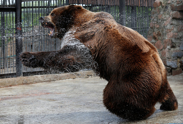 Buyan, a male Siberian brown bear, cools down under a stream of water sprayed by an employee in an enclosure on a hot summer day, at the Royev Ruchey zoo in Krasnoyarsk, Russia on June 14, 2019. (Photo by Ilya Naymushin/Reuters)