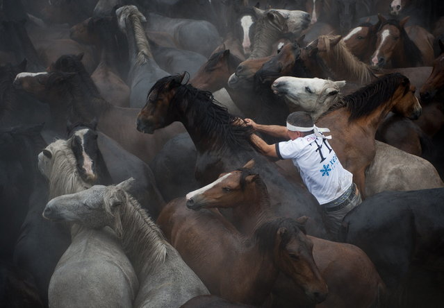 "A ""aloitador"" (fighter) struggles with a wild horse during the ""Rapa Das Bestas"" (Shearing of the Beasts) traditional event in the Spanish northwestern village of Sabucedo, some 40 kms from Santiago de Compostela, on July 5, 2014. During the 400-year-old horse festival, hundreds of wild horses are rounded up from the mountains, trimmed and groomed. (Photo by Miguel Riopa/AFP Photo)"