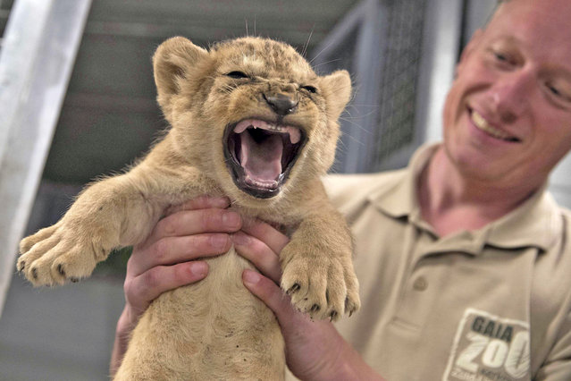 A keeper presents one of three lion cubs that were born at Gaia Zoo in Kerkrade, the Netherlands, 05 July 2016. (Photo by Marcel van Hoorn/EPA)