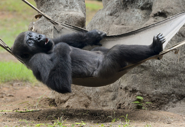 A Western lowland gorilla relaxes in a hammock inside its enclosure at Zoo Atlanta in Atlanta, Georgia, USA, 15 August 2012. Zoo Atlanta exhibits the largest number of gorillas in the US. The animals are critically endangered in the wild. (Photo by Erik S. Lesser/EPA)