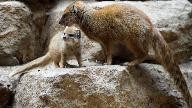 Undated handout photo issued on August 27, 2014 by Bristol Zoo Gardens of a yellow mongoose pup with one of their parents that has been welcomed at the zoo. (Photo by Bob Pitchford/PA Wire)