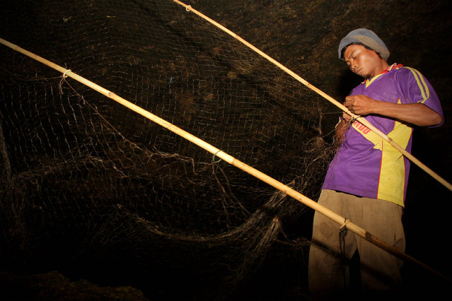 Bat catcher Martono collects bats captured in a cave on July 31, 2009 in Yogyakarta, Indonesia