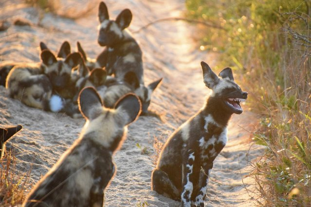 While in Tembe Elephant Park helping track endangered species (including the wild dogs) we came across this pack of African Wild Dog playing and lounging on this sand road. Apparently there was a pretty good joke told! in Tembe Elephant Park. South Africa. (Photo by Tina Stehr/Comedy Wildlife Photography Awards/Barcroft Media)