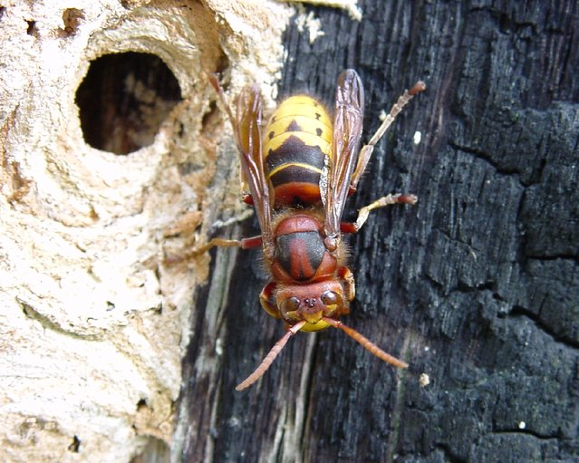 Deadly Insects Hornet