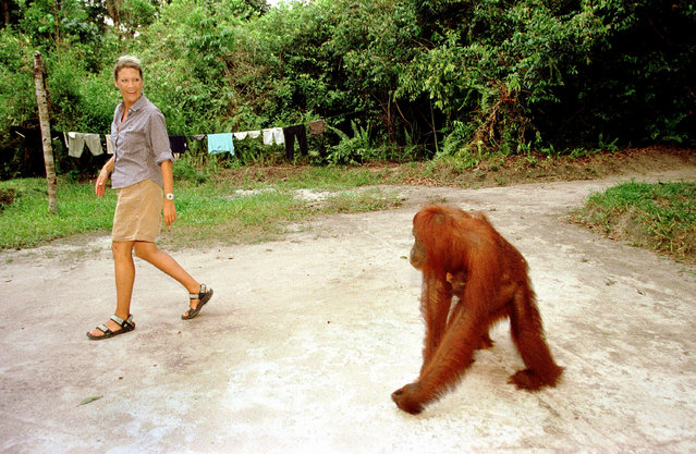 An Orangutan walks around freely September 1, 2001 in Camp Leakey at the Tanjung Puting National Park in Kalimantan on the island of Borneo, Indonesia. (Photo by Paula Bronstein/Getty Images)