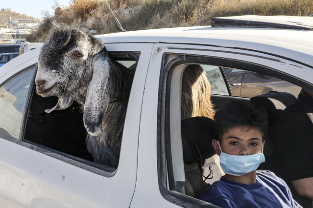 """A boy, clad in mask due to the COVID-19 coronavirus pandemic, rides in a car with a goat just purchased at a Friday animal market in the city of Hebron in the occupied West Bank on July 24, 2020, as Muslims prepare for the Eid al-Adha holiday to take place the following week. Known as the """"big"""" festival, Eid al-Adha is celebrated each year by Muslims sacrificing various animals according to religious traditions, including cows, camels, goats and sheep. The festival marks the end of the Hajj pilgrimage to Mecca and commemorates Prophet Abraham's readiness to sacrifice his son to show obedience to God. (Photo by Hazem Bader/AFP Photo)"""