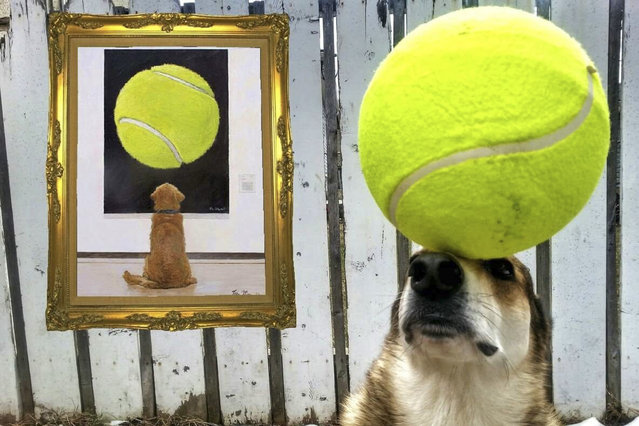 Toby balances a large tennis ball on his head. (Photo by Pat Langer/Caters News Agency)