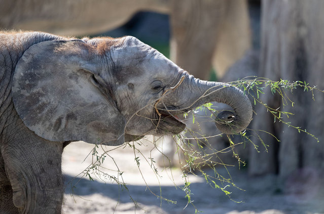 One-year-old female African elephant Kibali plays with plants in its enclosure at Schoenbrunner Tiergarten zoo amid the coronavirus disease (COVID-19) outbreak in Vienna, Austria, July 14, 2020. (Photo by Lisi Niesner/Reuters)