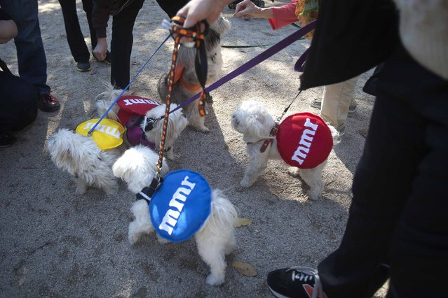 A group of dogs play during the 24th Annual Tompkins Square Halloween Dog Parade in New York October 25, 2014. (Photo by Carlo Allegri/Reuters)