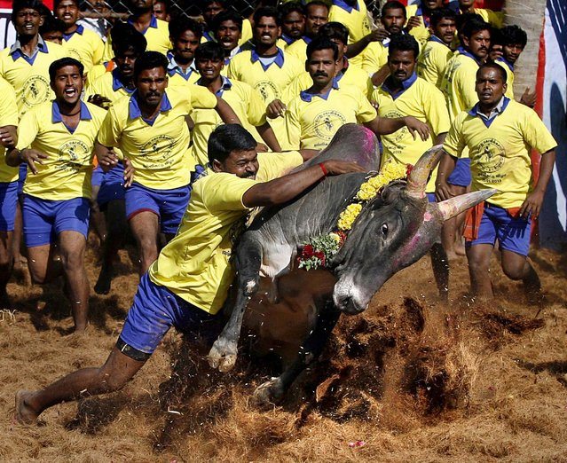 Bull tamers try to control a bull during the bull-taming sport called Jallikattu, in Palamedu, India, January 15, 2013. Jallikattu is an ancient heroic sporting event of the Tamils played during the harvest festival. (Photo by Arun Sankar K./Associated Press)