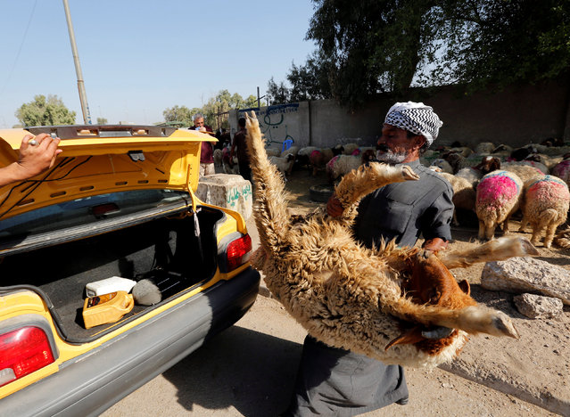 An Iraqi shepherd carries a sold sheep to a customer's car ahead of the Muslim festival of Eid al-Adha in Baghdad, Iraq September 12, 2016. (Photo by Ahmed Saad/Reuters)