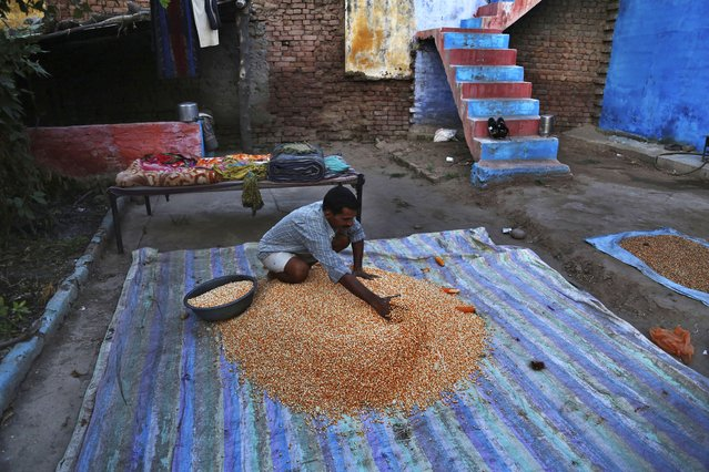 An Indian farmer dries his corn crop on the outskirts of Jammu, India, Sunday, September 20, 2020. Amid an uproar in Parliament, Indian lawmakers on Sunday approved a pair of controversial agriculture bills that the government says will boost growth in the farming sector through private investments. (Photo by Channi Anand/AP Photo)