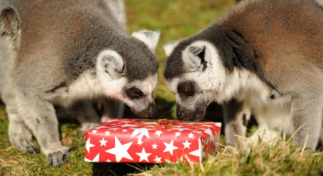 Billy and Taffy, Whipsnade Zoo's ring-tailed lemur twins, with one of their presents during a photocall to celebrate their 25th birthday, March 13, 2013. Billy and Taffy are thought to be the oldest lemur twins in the world. (Photo by Andrew Matthews/PA Wire)