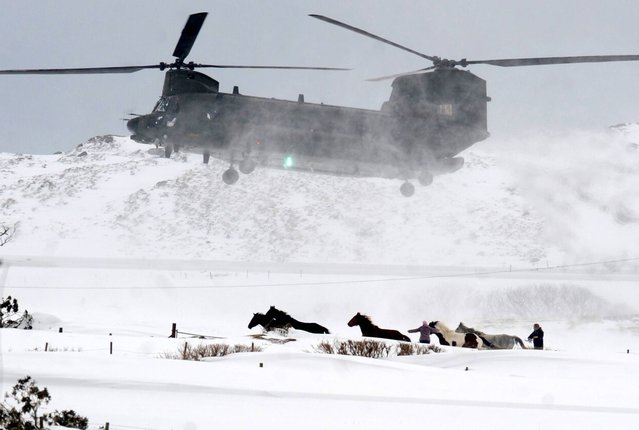 "The last relief flight  in Dromara Hills, County Down as an RAF Chinook makes the final drop of emergency food supplies for animals cut-off by the deep snow drifts, on March 29, 2013. All air support has now been withdrawn from the relief operation to animals stranded in the snow in Northern Ireland. RAF Chinook and Irish Air Corps helicopters had been dropping emergency food supplies to farms in high-ground areas of counties Antrim and Down. The Department of Agriculture said it was now re-directing resources to the ground. DUP MLA Paul Frew has said it is too soon to end aerial support. ""This has always been about speed and the helicopters and the Chinooks would be able to speedily get to those farmers and those livestock far quicker than any snow plough or track machine"", he said. ""This decision by the Department of Agriculture minister will cost farmers more livestock"". The helicopters made food drops to thousands of animals stranded, mostly in the Glens of Antrim, which has been one of the areas worst affected by the snow. (Photo by Alan Lewis)"