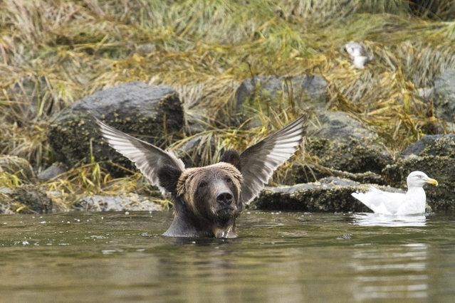 A bear appears to have wings growing from it's head in a photo taken by Adam Parsons, September, 2015. (Photo by Adam Parsons/Barcroft Images/Comedy Wildlife Photography Awards 2016)