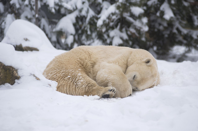 A polar bear curls up in the fresh snow in its enclosure in Sosto Zoo in Nyiregyhaza, Hungary, Sunday, March 18, 2018. (Photo by Attila Balazs/MTI via AP Photo)