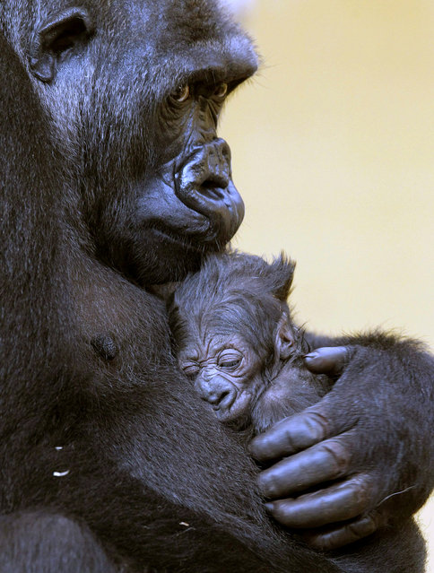 """The gorilla """"Moja"""" holds his baby after his birth at the Nature Park of Cabarceno in Cantabria, northern of Spain, April 16, 2013. This is the second gorilla that is  born in this natural reserve. (Photo by Esteban Cobo/EPA)"""