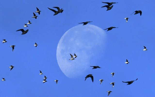 Flocks of wading and sea birds pass in front of the moon as they fly over the coastline as seasonal high tides force them off their feeding grounds closer to shore near Snettisham in Norfolk, Britain, October 20, 2016. (Photo by Toby Melville/Reuters)