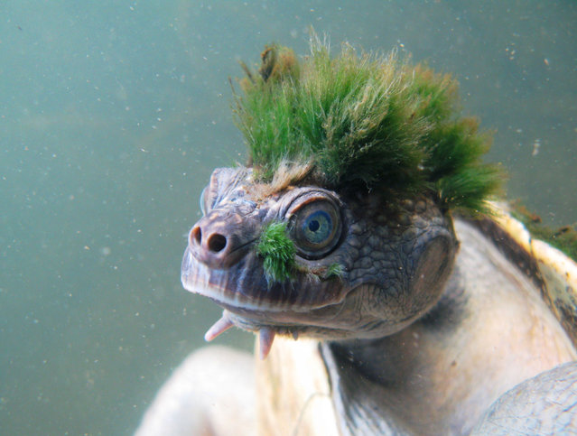 A Mary River turtle, one of hundreds of species on the Zoological Society of London'snew Evolutionarily Distinct and Globally Endangered Reptiles list. (Photo by Chris Van Wyk/ZSL/PA Wire)
