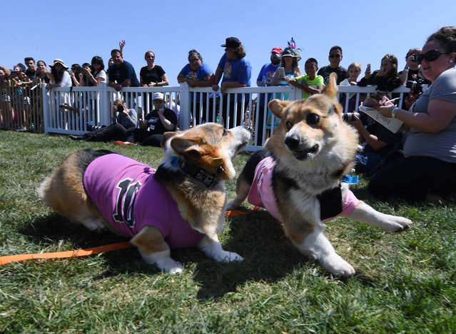 "Two Corgi dogs collide as they cross the finish line during the SoCal ""Corgi Nationals"" championship at the Santa Anita Horse Racetrack in Arcadia, California on May 27, 2018. (Photo by Mark Ralston/AFP Photo)"
