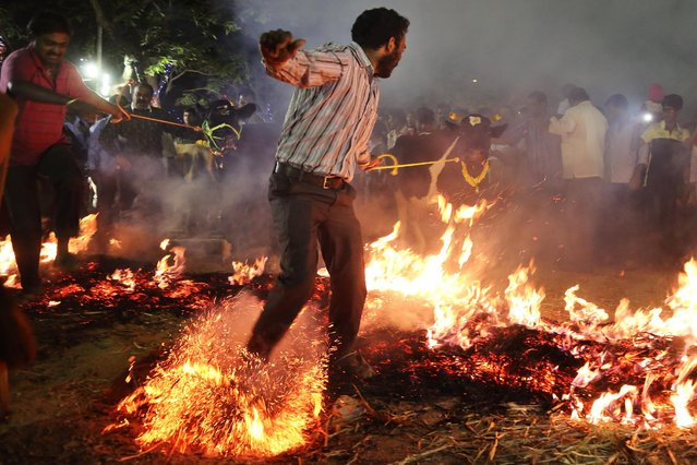 """A Hindu man pulls his cow to walk over fire as part of """"Makar Sankranti"""" celebrations in Bangalore, India, Thursday, January 15, 2015. Cows and bulls are given a wash and the horns painted with bright colors and decorated with garlands during Makar Sankranti, a Hindu festival which marks the return of the sun to the northern hemisphere and the end of the harvesting season. (Photo by Aijaz Rahi/AP Photo)"""