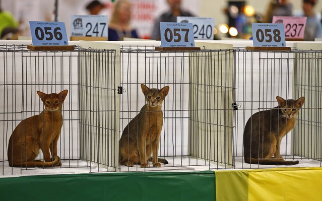 Cats wait to be judged at the annual cat show in Del Mar, California January 24, 2015. (Photo by Mike Blake/Reuters)