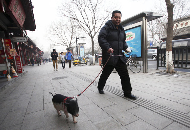A resident walks with a pet pig on a hazy day in Beijing January 22, 2013. (Photo by Reuters)