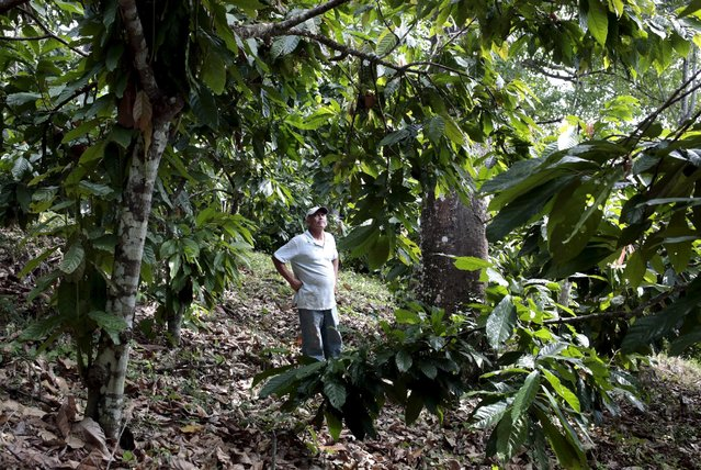 A farmer stands in a cocoa plantation at the San Miguel farm in Matagalpa, Nicaragua January 8, 2016. (Photo by Oswaldo Rivas/Reuters)