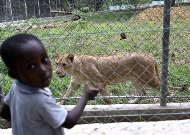A child stands at the lion enclosure at Abidjan Zoo, on March 10, 2015. During Ivory Coast's civil war in 2011, Abidjan's only zoo fell into disrepair and many animals died. Now, the facility is getting a makeover, and wants to become a center for conservation excellence in West Africa.  AFP PHOTO/ SIA KAMBOU        (Photo credit should read SIA KAMBOU/AFP/Getty Images)