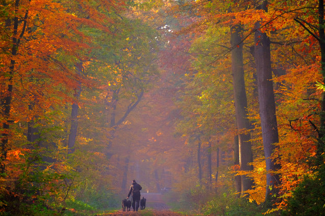 A stroller walks his dogs in an autumnally colored forest in Cuxhaven, nothern Germany on November 7, 2018. (Photo by Patrik Stollarz/AFP Photo)