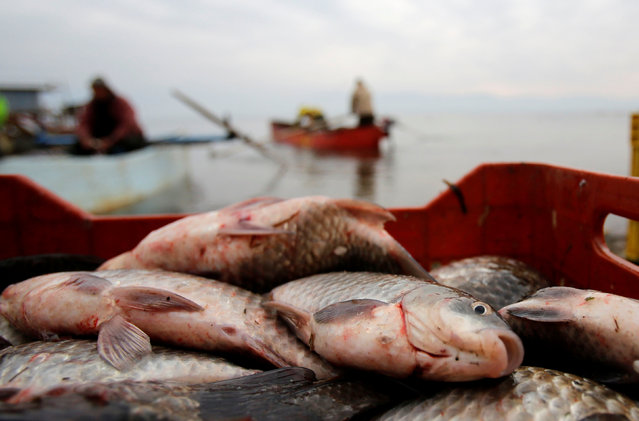 Fish is seen after it has been collected by fishermen at Dojran Lake, Macedonia, January 4, 2017. (Photo by Ognen Teofilovski/Reuters)