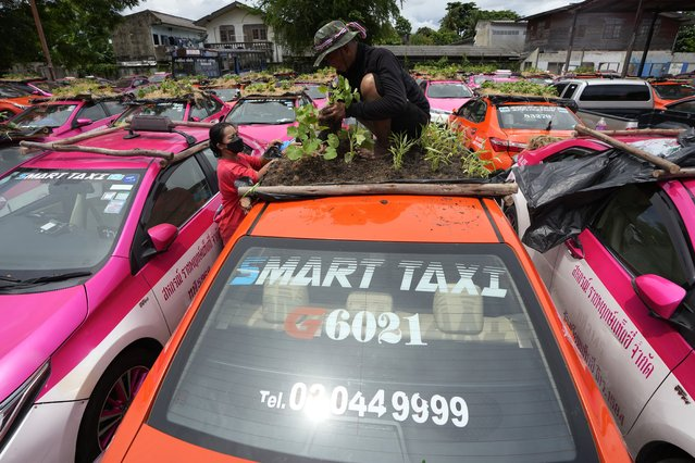 """Workers from two taxi cooperatives assemble miniature gardens on the rooftops of unused  taxis parked in Bangkok, Thailand, Thursday, September 16, 2021. Taxi fleets in Thailand are giving new meaning to the term """"rooftop garden"""", as they utilize the roofs of cabs idled by the coronavirus crisis to serve as small vegetable plots and raise awareness about the plight of out of work drivers. (Photo by Sakchai Lalit/AP Photo)"""