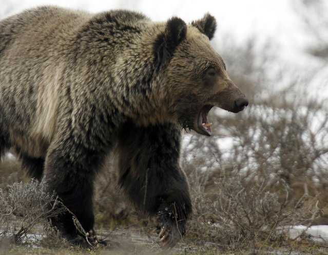 A grizzly bear roams through the Hayden Valley in Yellowstone National Park in Wyoming in this May 18, 2014 file photo. The U.S. Fish and Wildlife Service proposed on March 3, 2016 stripping Endangered Species Act protections from the grizzly bear in and around Yellowstone National Park, saying the animal's numbers have rebounded sufficiently in recent decades. (Photo by Jim Urquhart/Reuters)