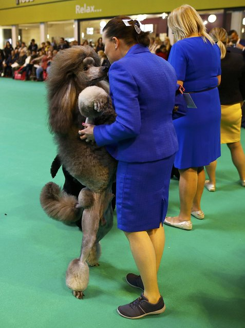 A Standard Poodle jumps up to its handler during the first day of the Crufts Dog Show in Birmingham, Britain March 10, 2016. (Photo by Darren Staples/Reuters)