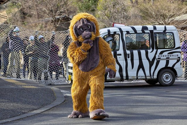 A zookeeper wearing orangutan costume tries to escape while zookeepers hold up a net in an attempt to capture it during an Escaped Animal Drill at Tama Zoological Park in Tokyo, Japan on February 22, 2019. The annual escape drill is held to train zookeepers what to do in the event of an animal escape. This year a member of staff wearing an orangutan costume was captured and subdued with large nets, sticks and tranquilizer guns to make sure the orangutan did not get away. (Photo by Rodrigo Reyes Marin/ZUMA Wire/Alamy Live News)