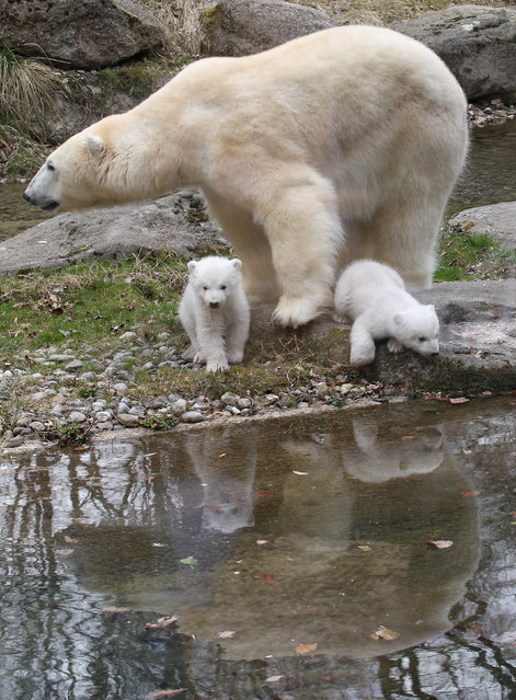 14 week-old twin polar bear cubs are pictured with their mother Giovanna during their first presentation to the media in Hellabrunn zoo on March 19, 2014 in Munich, Germany. (Photo by Alexandra Beier/Getty Images)