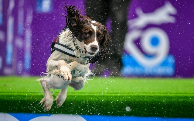 A spaniel jumps into a pool at Bristol Dogfest, where hundreds of dogs enjoy a canine festival dubbed the Glastonbury for dogs, at Ashton Court Estate, Bristol on June 23, 2019. (Photo by Ben Birchall/PA Images via Getty Images)