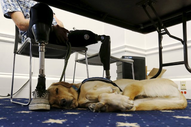Knoxville, a trained service dog, sleeps at the feet of retired U.S. Army soldier Stefan LeRoy, who was injured in Afghanistan in 2012, during a U.S. House Military Veterans Caucus briefing on legislation promoting service dogs for military veterans on Capitol Hill in Washington April 21, 2016. (Photo by Jonathan Ernst/Reuters)