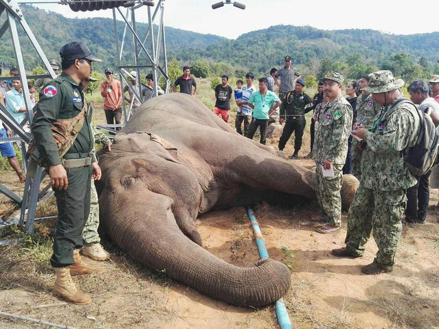 In this Tuesday, March 21, 2017 photo provided by Wildlife Alliance, Cambodian soldiers stand next to a dead wild elephant in the jungle near Cardamom National Park of Kampong Speu province in western of Phnom Penh, Cambodia.  A park ranger in Cambodia said an endangered wild elephant has died after an electrical pole fell and sent a powerful current surging through the animal. (Photo by Wildlife Alliance via AP Photo)