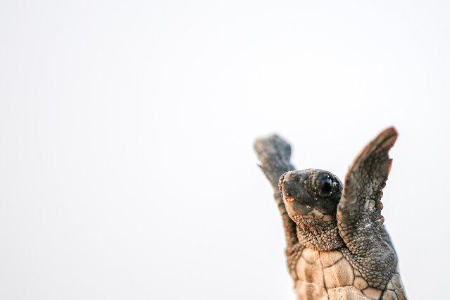 Newly hatched Loggerhead turtles (Caretta Caretta) make their way to the sea at Cirali Beach in Antalya's Kemer district, Turkey on August 5, 2018. (Photo by Mustafa Ciftci/Anadolu Agency via Getty Images)