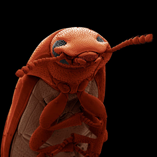Confused Flour Beetle by David Spears. This small beetle is a pest in stored grain and flour products. The image was captured by a scanning electron micrograph and was then coloured in Photoshop. (Photo by David Spears/2019 Science Photographer of the Year/RPS)