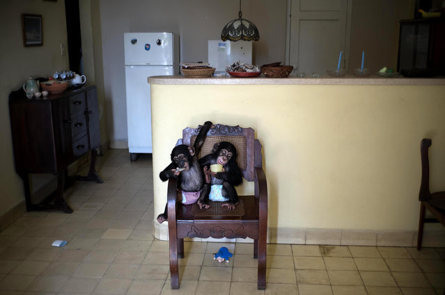In this April 4, 2017 photo, baby chimpanzee Anuma II, left, and Ada rest in a chair at zoologist Martha Llanes' apartment in Havana, Cuba. Llanes' apartment looks like any that's home to two infants, albeit infants able to scramble up chairs, tables and virtually any other object with already-strong arms and legs and feet with opposable thumbs. (Photo by Ramon Espinosa/AP Photo)
